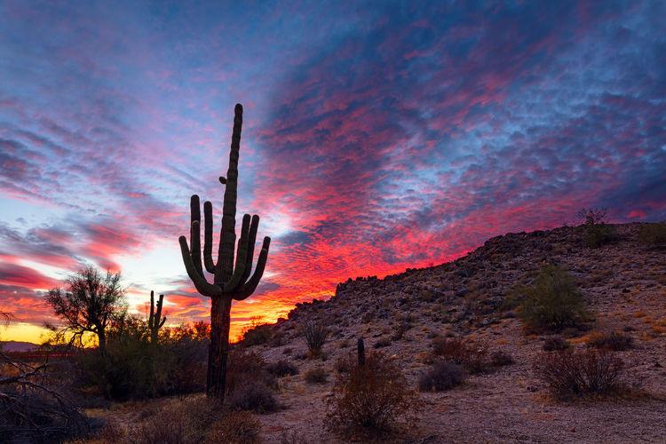 Saguaro cactus silhouette at sunset in sonoran desert national monument, arizona, usa.