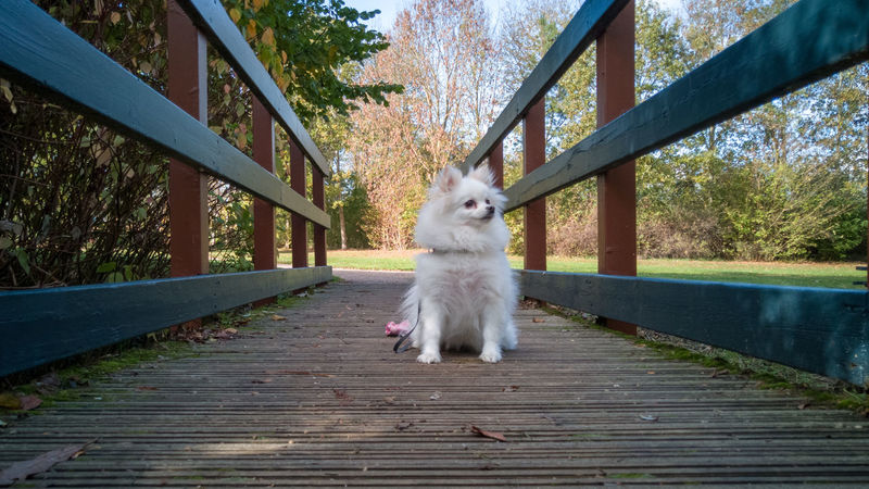 Princess Honor 10 United Kingdom Outdoors Dog Canine White Pomeranian Princess EyeEm Selects Pets Tree Dog Railing Wood - Material Sky Footbridge Bridge - Man Made Structure