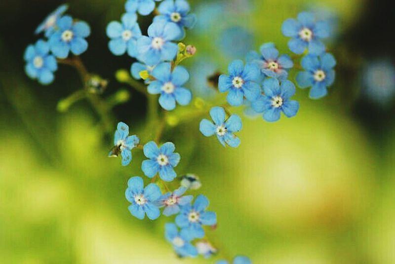 Forget Me Not Jeannine I Dream Photos Jeannine Kelly Flower Flowers Textured  Forget Me Nots Forgetmenot Blue Myosotis
