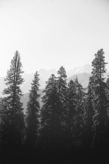 mornings are the best Moody Himalayas Uttarakhand Kuari Pass Mountain Mountain Range Mountain Range Tree Tree Area Forest Fog Pinaceae Pine Tree Sky Pine Woodland Evergreen Tree Fir Tree Needle - Plant Part Pine Wood WoodLand Coniferous Tree Treetop Tree Trunk Lush - Description Glade Grove