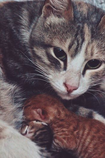 Mother love ❤️ Kitten #feeding Wide Eyes Beautiful Newborn Animals Orange Grey Domestic Cat Animal Themes Whisker Pets Domestic Animals Feline Mammal Close-up