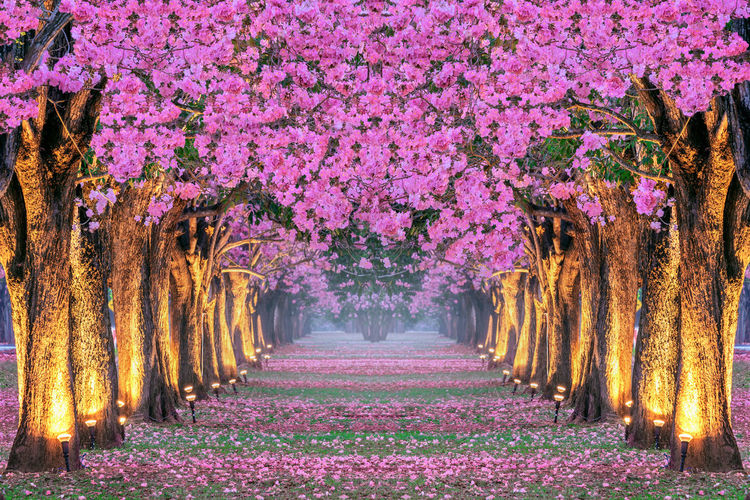 Rows of Beautiful pink flowers trees. Plant Tree Beauty In Nature Pink Color Flower Growth Flowering Plant The Way Forward Nature Freshness Direction Park Fragility In A Row Park - Man Made Space Springtime Diminishing Perspective No People Tree Trunk Scenics - Nature Outdoors Purple Treelined Change Cherry Blossom