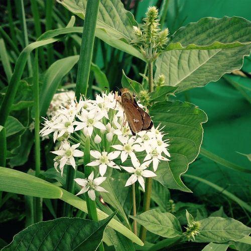 韮の花 蝶 イチモンジセセリ