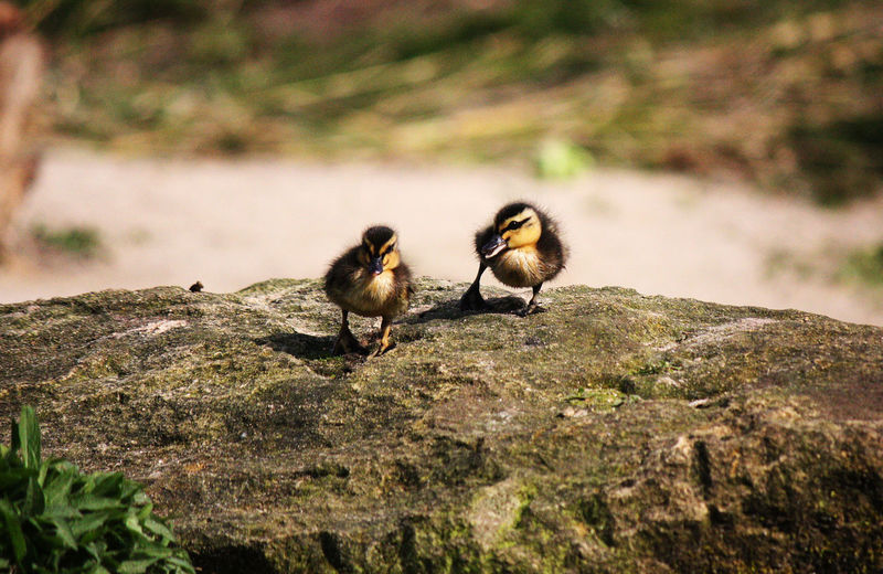 Close-up of ducklings perching on rock