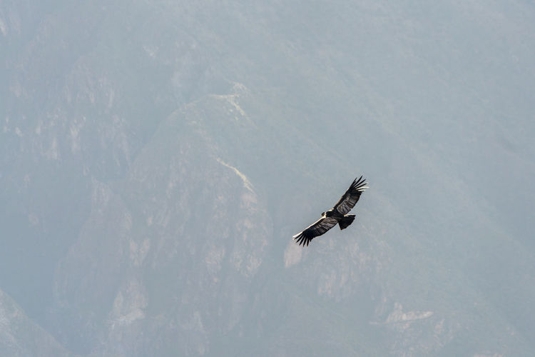 Low angle view of eagle flying in snow