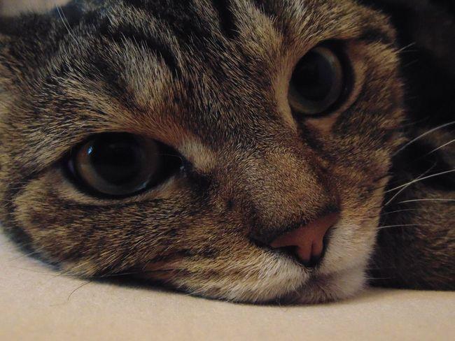 Cat кот котэ няша лапа пупсик усатик глаза  Eyes HappyCat