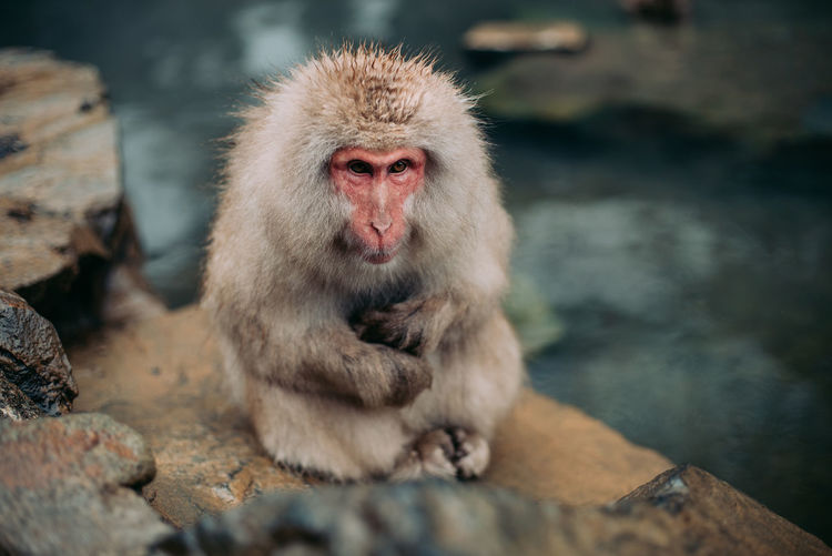 Japanese Macaque On Rock