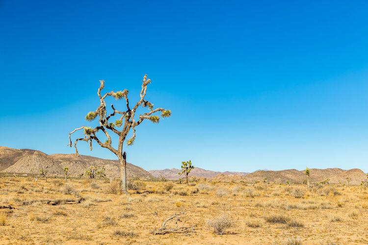 Tree on desert against clear blue sky