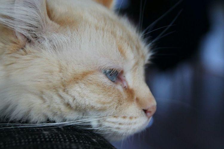 Nofilter Love Cat Softkitty Littleballoffur Amaricancurl Ragdoll Sweet Owen Boy Relaxing Bleu Eyes