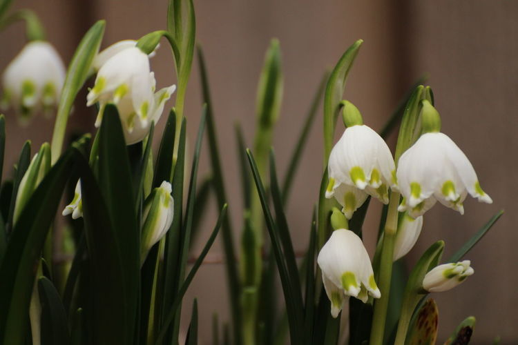 springtime ahead Early Bloomer Garden Springtime Blossoms Flower Flowering Plant Plant Freshness Beauty In Nature Fragility Vulnerability  Growth Petal Close-up Flower Head Inflorescence Green Color Focus On Foreground White Color Nature No People Plant Stem Day Snowdrop Outdoors Springtime