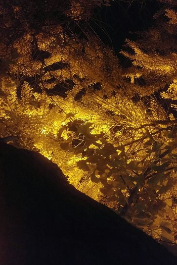 Illuminated Night Nature Close-up Sky Textured  Beauty In Nature No People Dramatic Sky Ginko Ginko Leaves Night Photography Golden Yellow Leaves Dark And Light Outdoors Nature Meets Urban Fall Leaves Autumn Colors Autumn Living Fossil Ancient Live Night View