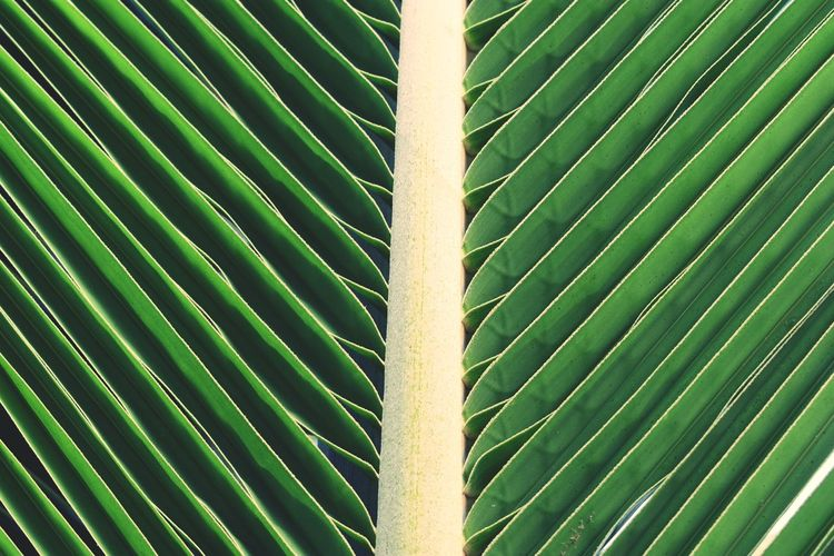 Leaves Coconut Trees Coconut Leaves Patterns Natural Patterns Symmetry Diagonal Lines Centered Green Backgrounds Leaf Full Frame Pattern Close-up Green Color Sky Bamboo Grove Bamboo - Plant Leaf Vein Bamboo Frond Growing Plant Life LINE Leaves Natural Pattern