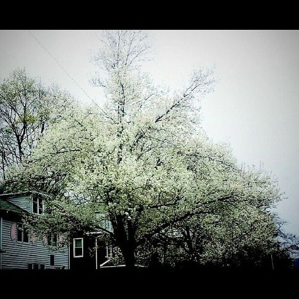 Blooming Trees Row Spring Happyvalley flowering branches Appalachia central Pennsylvania