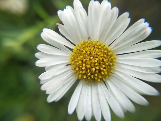 Flower Fragility Flower Head Petal White Color Yellow Macro Beauty In Nature Plant Daisy Front Or Back Yard Close-up Nature No People Stamen Pollen Freshness Day Elégance Focus On Foreground