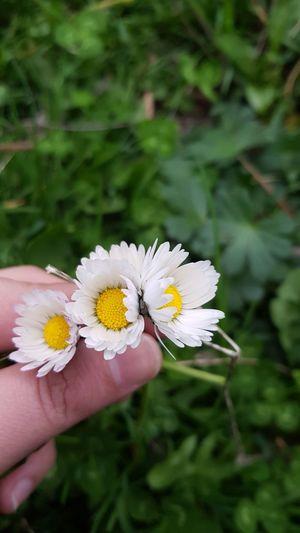 Sana da kırgınım papatya, bir seviyoru sığdıramadın onca yaprağına... #papatya #aşk #seviyor #sevmiyor 😉 Yellow Close-up