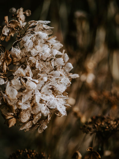 Macro photo of decaying hydrangea Plant Close-up Focus On Foreground Beauty In Nature Growth Nature Day No People Flower Flowering Plant Fragility Vulnerability  Dry Wilted Plant Outdoors Freshness Petal Selective Focus Flower Head Tree Dried