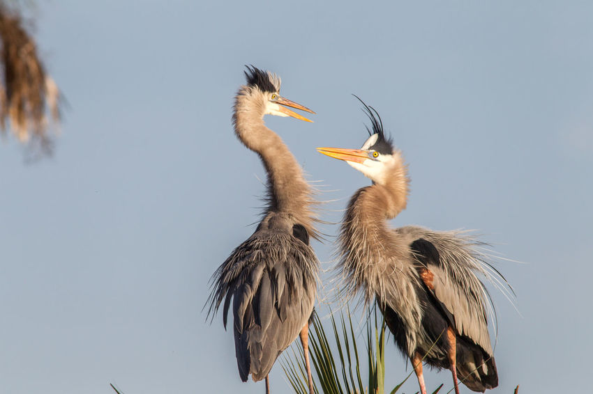 Animal Themes Animal Wildlife Animals In The Wild Ardea Herodias Beauty In Nature Bird Bird Photography Courting Couple Great Blue Heron Headdress Nature Photography No People Wildlife & Nature Wildlife Photography