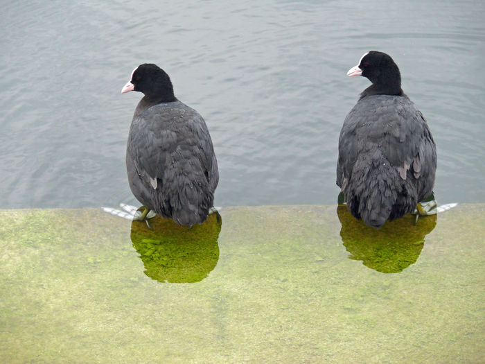Blässhühner Blässhuhn Black Color High Angle View Perching Grass Outdoors Coot Nature Water Lake No People Group Of Animals Day Two Animals Animal Themes Animals In The Wild Animal Vertebrate Bird Animal Wildlife Rallen Gallinula Teichhuhn Teichralle Bläßralle