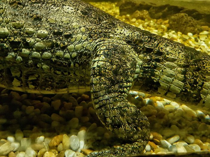 Full Frame Close-up No People Backgrounds Textured  Day Outdoors Reptile Nature Animal Themes Krokodile Underwater