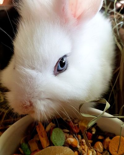 Bunny Blue eye... Nature Nature Photography EyeEm Selects Bunny  White Animal BlueEyes Pet Home Little Clouse-up No People