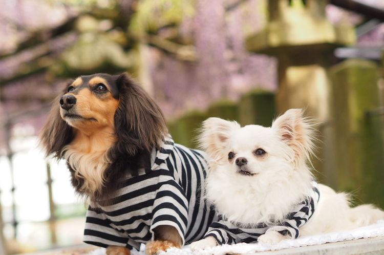犬 わんこ Minituredachshund ミニチュアダックス お散歩 チワワ Dog Walking Dog Olympus Omdem1 Chihuahua