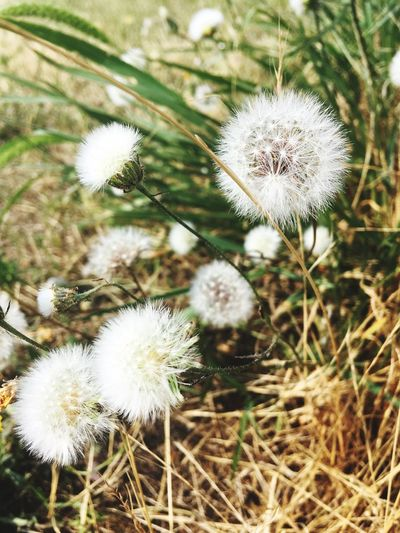 Nature Growth Dandelion Flower Fragility Softness Plant Beauty In Nature White Color Freshness Uncultivated No People Outdoors Close-up Focus On Foreground Day Flower Head EyeEm Selects EyeEmNewHere