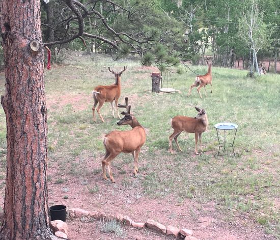My beautiful neighbors~ 😍🦌🦌🦌. Animals In The Wild Animal Wildlife Deer Animal Themes Tree Mammal Nature Outdoors Stag Forest Colorado IPhoneography Mydeckview Beautiful Nature Nature On Your Doorstep Beauty In Nature Coloradophotographer Herd Beauty Of Nature Day Antler Large Group Of Animals No People