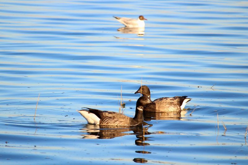 Brent geese Goose Water Bird Animal Animal Themes Animals In The Wild Vertebrate Animal Wildlife Group Of Animals Lake Poultry Nature Waterfront Day Reflection Outdoors Animal Family
