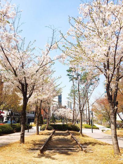 180409 Cherry blossom Seoul Spring Nature