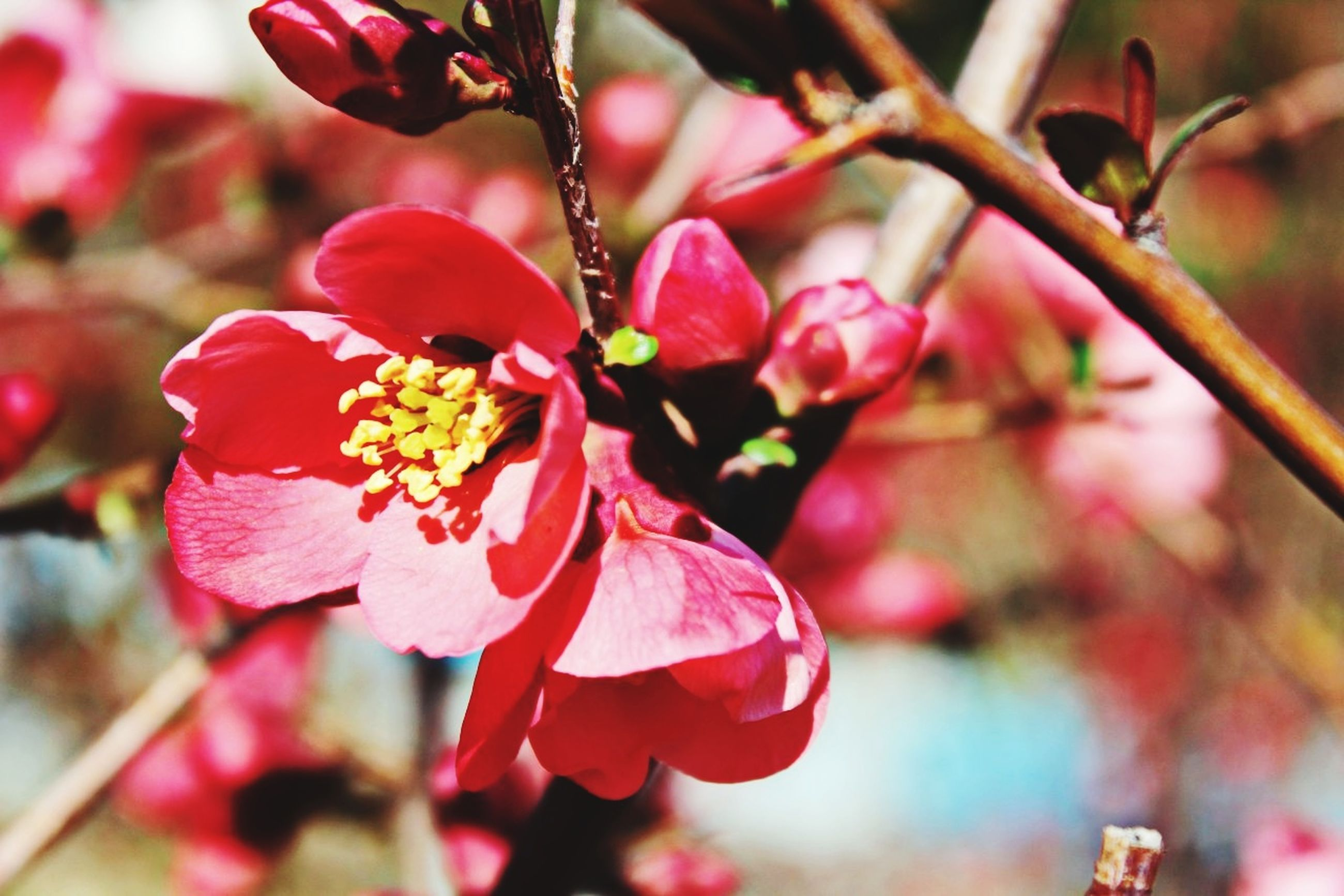 flower, fragility, nature, growth, beauty in nature, freshness, petal, close-up, flower head, springtime, outdoors, pink color, no people, day, pollen, plant, tree, plum blossom