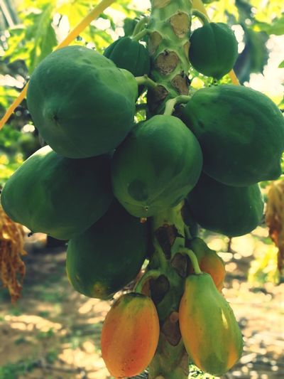 Tree Fruit Leaf Agriculture Social Issues Branch Close-up Plant Green Color Food And Drink