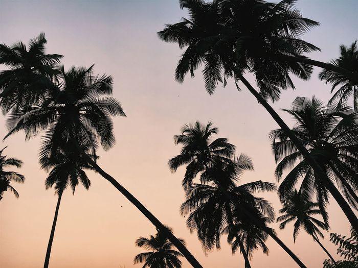 India Palm