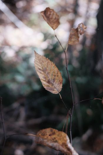 Close-up of dry leaves against blurred background