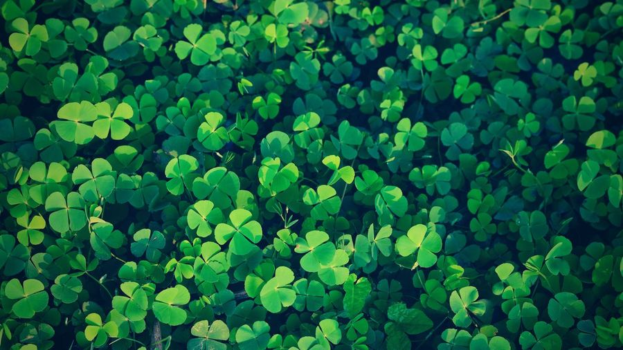 Green clover leaf isolated for background. with three-leaved shamrock . st. patrick's day vacation