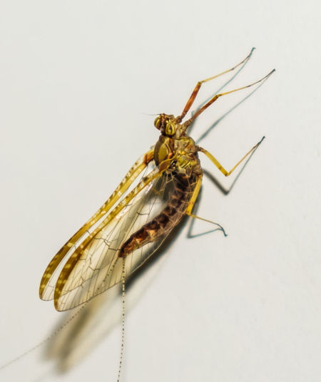 Animal Themes Animals In The Wild Close-up Day Insect No People One Animal Studio Shot White Background Mayfly Mayflies