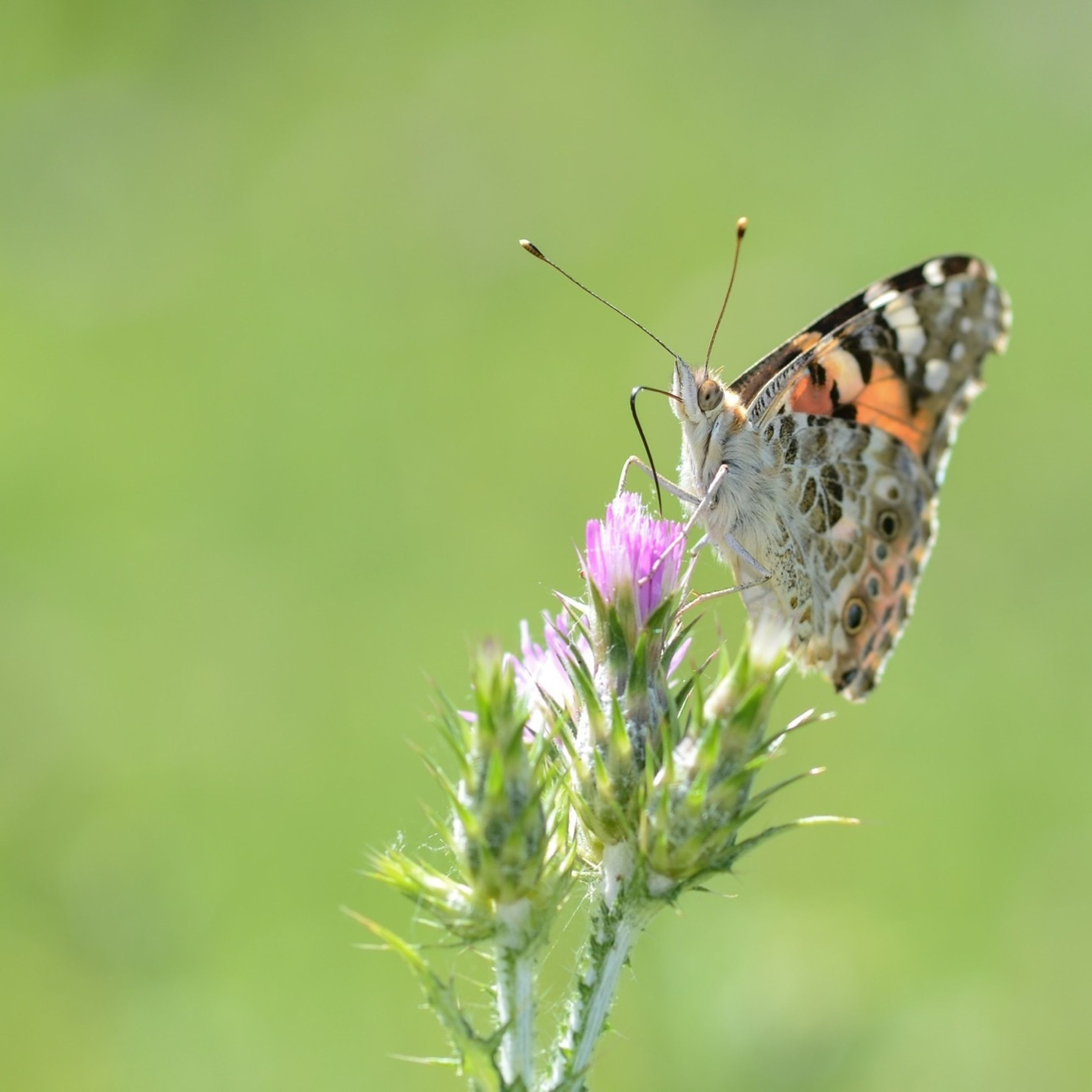 animals in the wild, animal themes, insect, one animal, wildlife, flower, focus on foreground, butterfly - insect, butterfly, close-up, plant, animal wing, nature, beauty in nature, growth, animal markings, pollination, fragility, day, animal antenna
