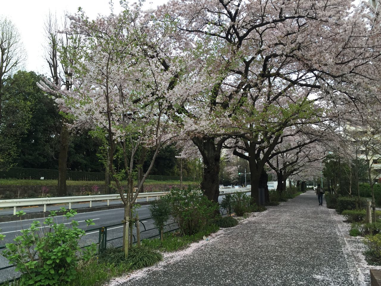 Cherry Trees By Sidewalk