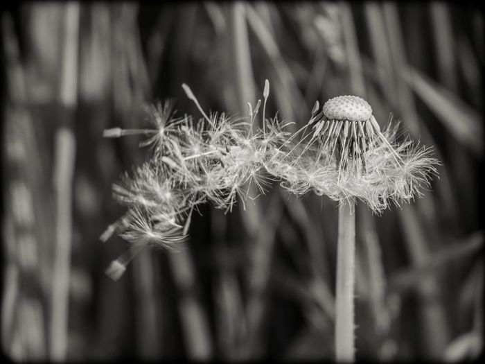 Today I photographed the wind and made a wish! Seeds On The Wind Seeds Of Life Light As A Feather Dandelion Clock Simple Pleasures Simple Quiet Love Nature Lover Soft And Pure Close-up Plant Dandelion Stem Uncultivated Plant Life Botany Seed Dandelion Seed