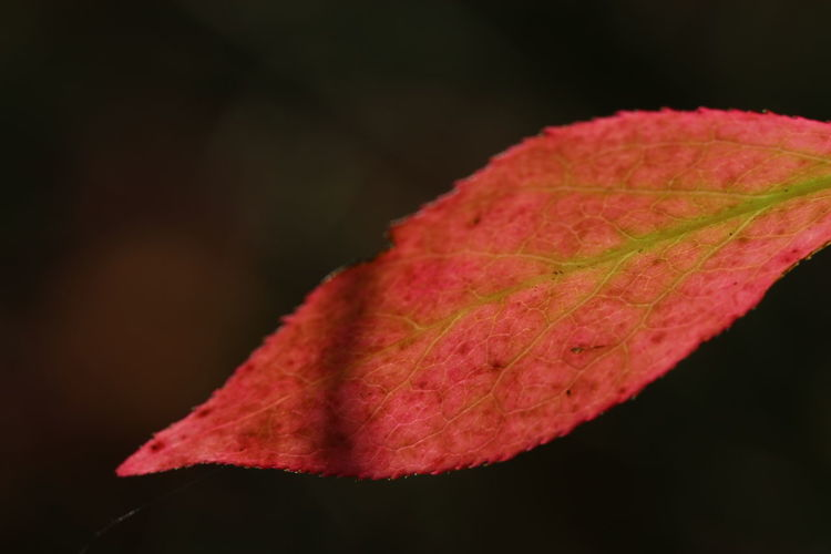 Close-up of red maple leaf on black background