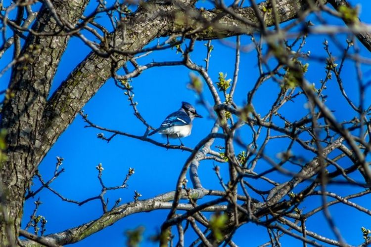 Blue jay perching on tree against clear sky