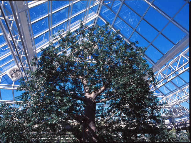 Boabab Tree Ecosystem  TheWeekOnEyeEM Architecture Blue Building Building Exterior Built Structure Ceiling Day Glass Glass - Material Greenhouse Growth Low Angle View Modern Nature No People Plant Plant Nursery Roof Beam Sky Skylight Sunlight Tree