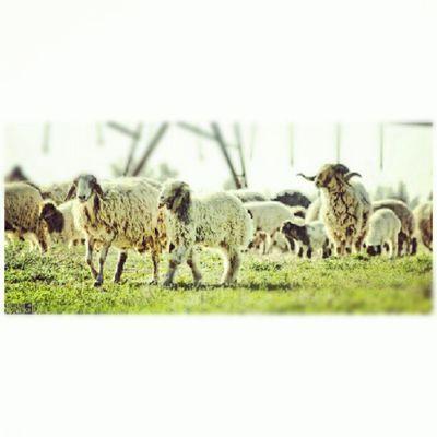 صورة خاروف مزرعة تصوير  كانون 50d عدسة زوم 70-300 Picture Sheep farm photography canon lenlens zoom