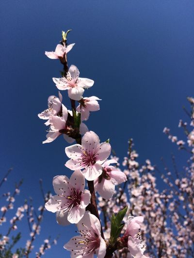 Low Angle View Of Magnolia Blossoms In Spring Against Clear Sky