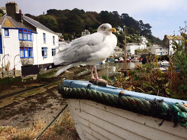 Such a character, this seagull was not moving for anyone! Polperro Seagull Fishing Boat Estuary Cornwall Seaside Seagulls Village White Washed Building Blue Window England