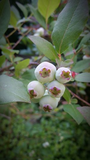 Deliciousness forming Unripe Blueberries