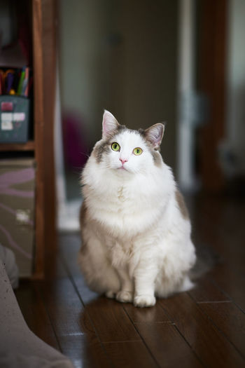 White cat sitting on wooden floor at home