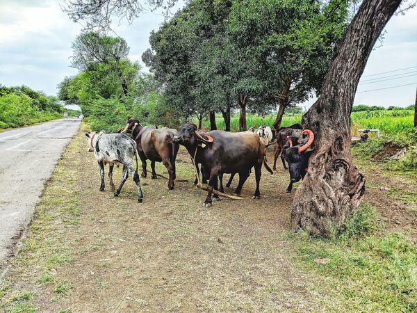 Tree Field Sky Livestock Grass Farm Animal Domestic Cattle Buffalo Bull Horned Group Of Animals Calf