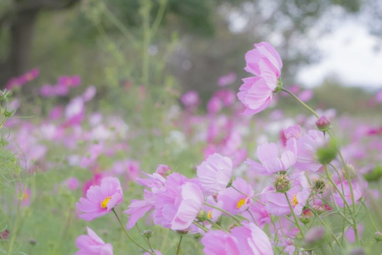 Flower Flowering Plant Pink Color Plant Freshness Beauty In Nature Growth Close-up Petal Nature No People Outdoors Flower Head Cosmos Flower Cosmos Autumn Side Angle Side View