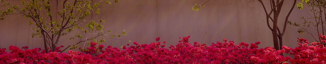 Pink Wall Blossom Calm Pink Red Wall Flowers