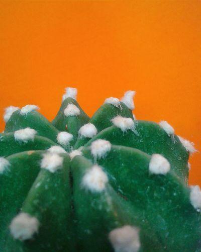 """Cactus 2 of 2"". Piante Grasse Succulent Plants Plants Piante Macro Botanics Orange Color Background Green Arancione Verde Smartphone Photography Mobile Photography S3mini Camerazoomfx in HDR shooting mode { Bracketing}"